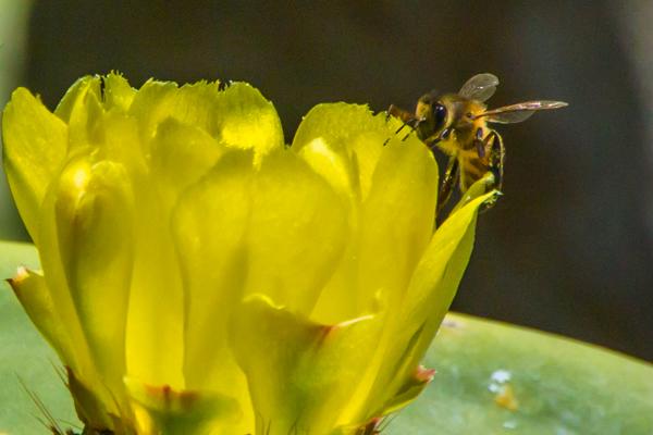 Fikonkaktusen blommar