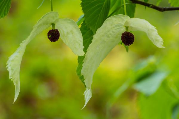 Näsduksträdet blommar
