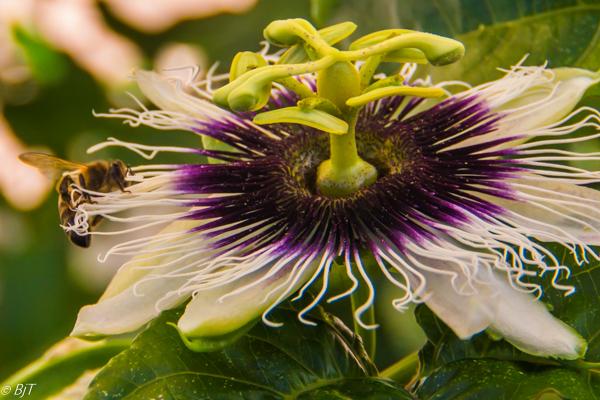 Blommande passionsfrukt