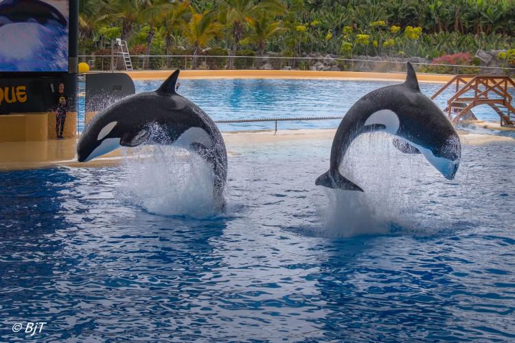 Orca ocean i Loro Parque