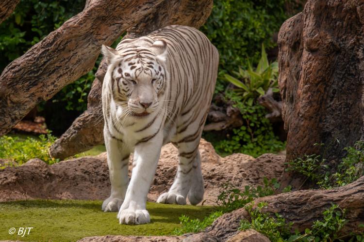 Vit sibirisk tiger